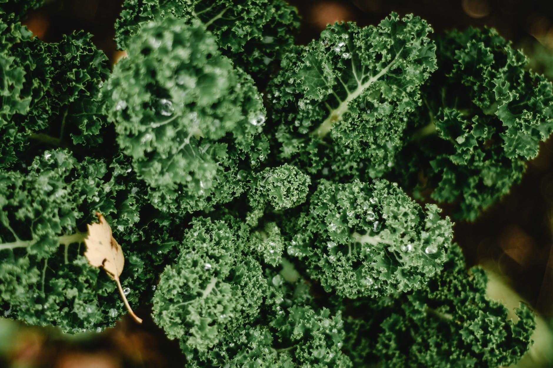 Sayuran Brassica, Nama ilmiahnya adalah Brassica oleracea var. sabellica.