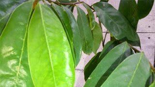 Ini manfaat daun sirsak dan ketahui efek sampingnya.