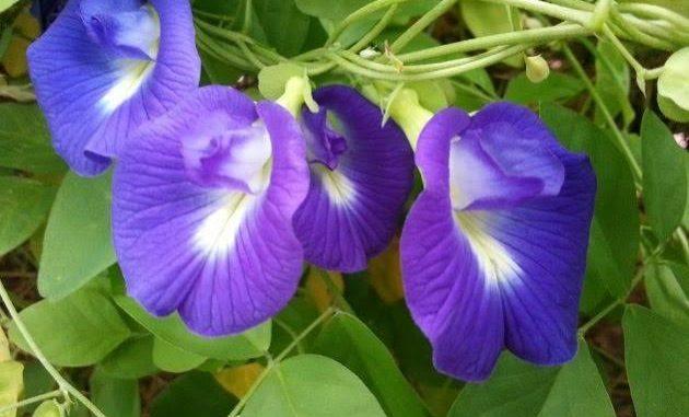8 manfaat bunga telang dan cara mengolahnya.