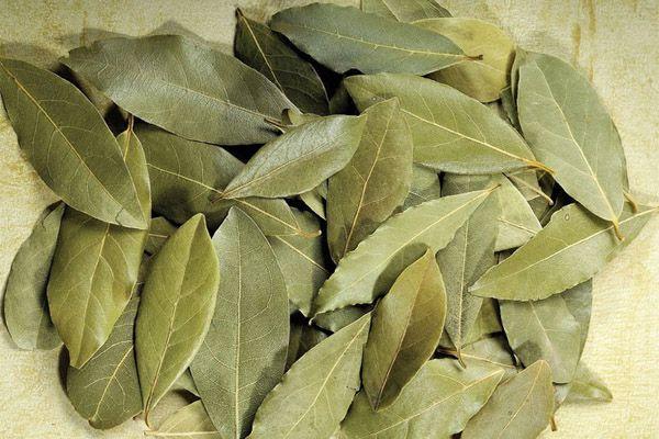 Ketahui manfaat dan efek samping daun salam untuk kesehatan.